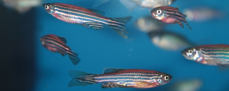 Zebrafish Engage More with 3D-Moving Robotic Replicas than Other Stimuli, Research Finds