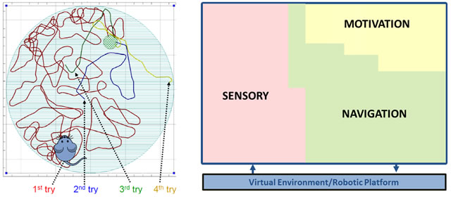 Left: MoNETA is a whole-brain-system model consisting of sensory, motivation, and navigation areas interfaced with a virtual environment or robotic platform. Right: MoNETA learns to perform the Morris Water Maze task. In the first trial, MoNETA explores its environment driven by lack of comfort and curiosity drives. Once it accidentally swims on top of the submerged platform (green), MoNETA learns its position by using some visual landmark at the border of the pool. As training progresses, MoNETA is able to swim directly from its current position to the platform. MoNETA integrates sensory information into higher order representations of its emerging reality, and is able to react to novel situations not explicitly programmed within the software. It can perceive its surroundings, decide what is useful, and in certain applications even be able to formulate plans that ensure its survival. MoNETA is motivated by analogs of the same drives that underlie the behavior of rats, cats, or humans.